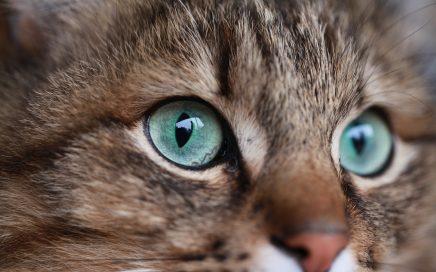 Augenheilkunde Katze